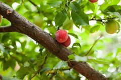 Plum Tree Stock Photos
