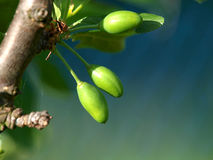 Plum tree Stock Images