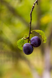 Plum on a tree Royalty Free Stock Images