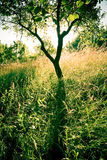 Plum tree. A lone plum tree in golden light at dusk royalty free stock image