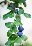 Plum tree Royalty Free Stock Image