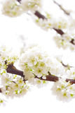 Plum tree Royalty Free Stock Photos