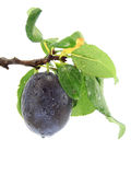 Plum at the tree Royalty Free Stock Photos