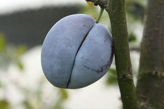 Plum on a tree Royalty Free Stock Image
