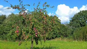 A plum tree in autumn Stock Images