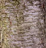 Plum tree bark Royalty Free Stock Photo