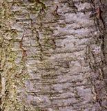 Plum tree bark Royalty Free Stock Photo