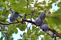 Plum tree with black amber plums. Photography of plum tree with plums and blue sky in the background Stock Images