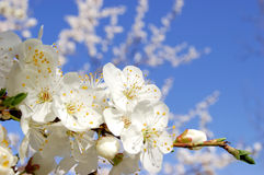 Plum Tree Bloom Stock Images