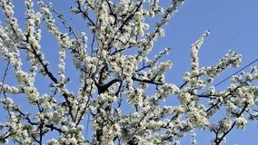 Plum tree in bloom stock footage