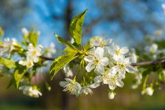 Plum tree blooming branch. Plum flower tree in the garden, spring bloom Royalty Free Stock Photography