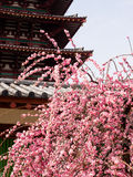 Plum tree blooming in a temple Royalty Free Stock Photography