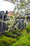 The plum tree blooms in late summer royalty free stock photos