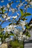 Plum tree blooms in my garden every spring royalty free stock photography
