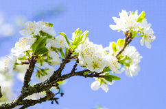 Plum tree blooms in the spring. Plum tree blossoms in spring against a blue sky on a sunny day royalty free stock photos