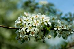 Plum blooms. Stock Photos