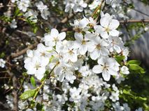 Plum tree blooms in spring, Lithuania Royalty Free Stock Images