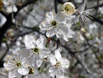 Plum tree blooms in spring, Lithuania Stock Image