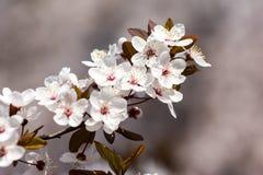 Plum Tree Blossom Fotografía de archivo libre de regalías