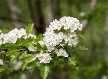 Plum Tree Blossom Fotografía de archivo