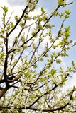 Plum tree blossom. Beautiful plum tree blossoms against blue sky Stock Photography