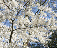 Plum tree in blossom Royalty Free Stock Image