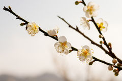 Plum tree blossom flower Royalty Free Stock Images