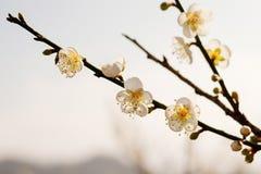 Plum tree blossom flower. White plum tree blossom flower Royalty Free Stock Images