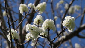 Plum Tree blossom flowers at wind stock video