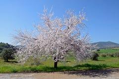 Plum tree blossom Stock Photos