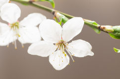 Plum tree blossom Royalty Free Stock Photos