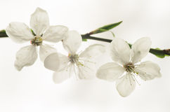 Plum tree blossom Stock Images