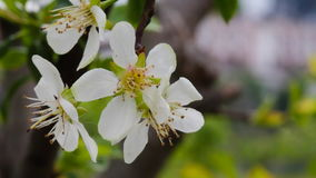 Plum Tree blossom moving with the breeze stock video
