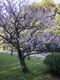 Plum Tree Blossom på Hamarikyu trädgårdar i Tokyo, Japan royaltyfri foto