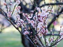 Plum Tree Blossom på Hamarikyu trädgårdar i Tokyo, Japan arkivbild