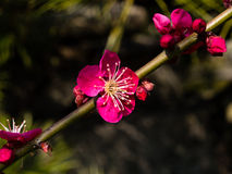 Plum tree blossom Royalty Free Stock Photos