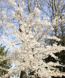 Plum tree in blossom Royalty Free Stock Images