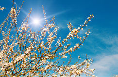 Plum tree blossom by spring. Royalty Free Stock Photography
