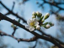 Plum Tree Blossom  . Spring morning. Plum Tree Blossom . Spring, morning, the sun the trees cool .. fresh stock photography