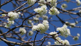 Plum Tree blossom on sunny day. Plum Tree blossom and blue sky on sunny day stock footage