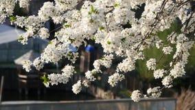 Plum Tree Blossom Vue au ch?teau de patrimoine mondial de Cesky Krumlov clips vidéos
