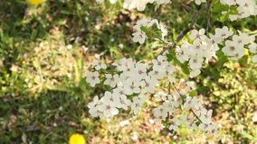Plum tree blossoming in April. Spring stock footage