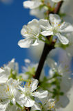 Plum tree blossoming in the orchard Stock Photo