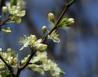 Plum tree blossoming Stock Photography