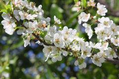 Plum Tree Blossoms Stock Photography