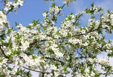 Plum tree blossoms. Beautiful plum tree blossoms against blue sky Stock Photography