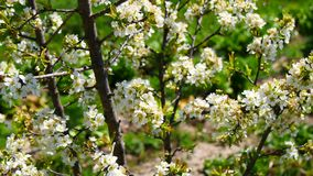 Plum tree blossoms in spring (4K) stock footage