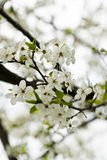 Plum tree blossoms. Twing plum in detial. White plum blossoms Stock Images
