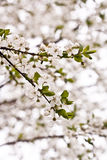 Plum tree blossoms. Twing plum in detial. White plum blossoms Stock Photography