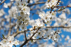Plum tree in blossoms. Royalty Free Stock Photos